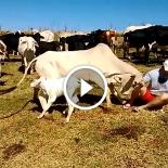 Vaca brava vs seres humanos – Veja o que vai acontecer no meio do vídeo!